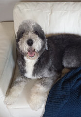 Sheepadoodle Luv - Dog Breeders