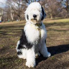 Sheepadoodle Puppies For Sale / Sheepadoodle Dog Breeders