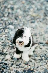 Sheepadoodle Puppies - Dog Breeders