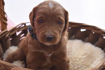 Sheepadoodle Puppies For Sale / Sheepadoodle Dog Breeders