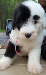 Sheepadoodle Puppies - Dog and Puppy Pictures
