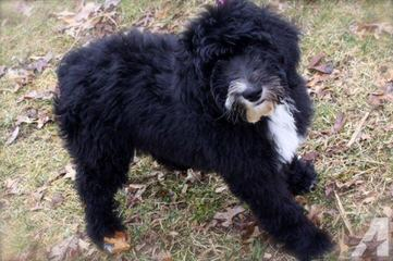 Dogpatch Sheepadoodles - Dog Breeders