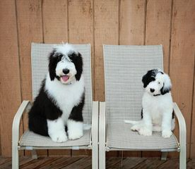 Cranbrook Family Dogs - Dog and Puppy Pictures