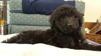 Pam's Sheepadoodle's - Dog and Puppy Pictures