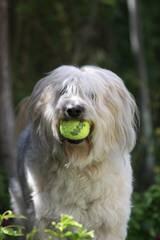 Shepadoodles - Dog Breeders