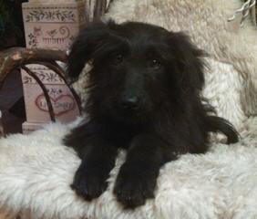 Mini English Shepadoodles! - Dog Breeders