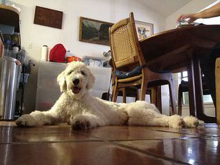 Shepadoodle All The Day! - Dog Breeders