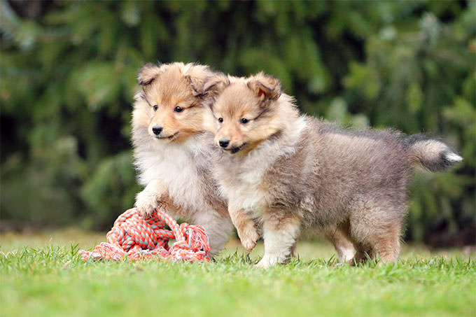 Shetland Sheepdog Dogs and Puppies