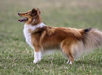 Shetland Sheepdog - Dog and Puppy Pictures