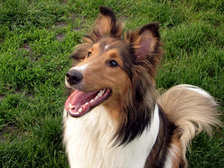 Crittersplus Shelties, Yorkies And Labradors - Dog and Puppy Pictures