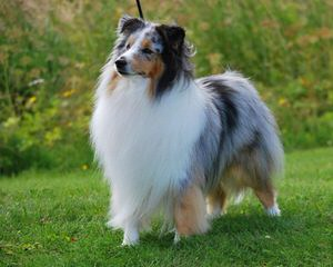 Shelties - Dog Breeders