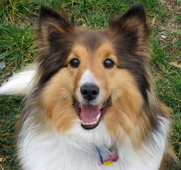 A&C Sheltie kennel - Dog Breeders