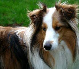 Wyndeway Shetland Sheepdogs - Dog Breeders