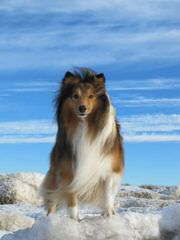 Akc Sheltie-Price Reduced! - Dog Breeders