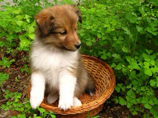 Sheltie Pups - Dog Breeders