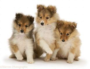 Family/Show/Agility Ukc/Akc Shetland Sheep Dogs - Dog Breeders
