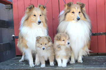Shelties For Sale – P/F/S - Dog Breeders