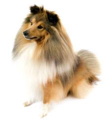 Shetland Sheepdog - Dog Breeders