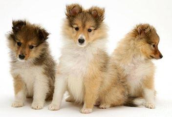 Shelties of Texas - Dog Breeders