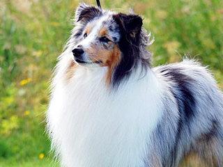 Shetland Sheep Puppies - Dog Breeders