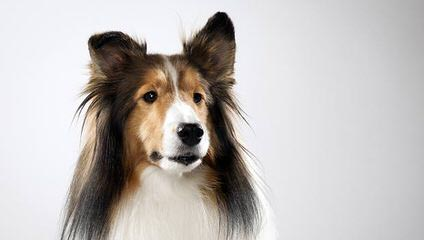 BellaRose Shelties - Dog Breeders