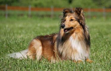 Crittersplus Shelties, Yorkies And Labradors - Dog Breeders