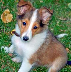 Angelic Shelties - Dog Breeders