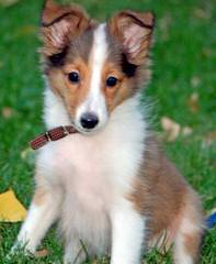 Sheltie Puppies For Sale. Male And Female - Dog Breeders