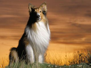 Angelic Shelties - Dog Breeders