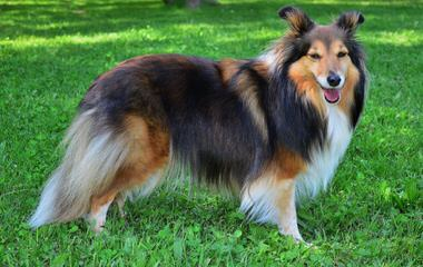 Sheltie Puppies - Dog Breeders