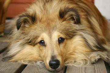 Fox Point Farm Toy Shelties and Poshies - Dog Breeders
