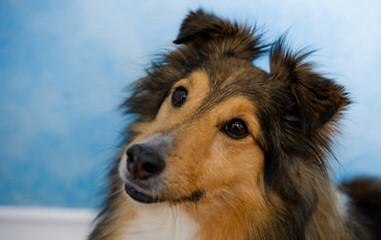 Fox Point Farm Toy Shelties and Poshies - Dog Breeders
