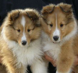 Morrow Shelties – Shetland Sheepdog - Dog and Puppy Pictures