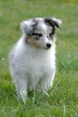 Akc Registered Sheltie Puppies For Sale - Dog Breeders