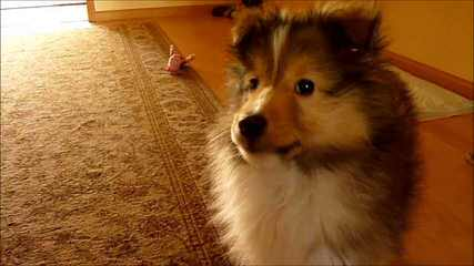 Sheltie Puppies - Dog and Puppy Pictures
