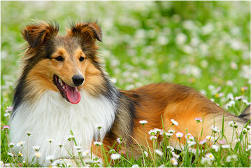 Sheltie Pups - Dog and Puppy Pictures