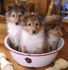 Angelic Shelties - Dog and Puppy Pictures