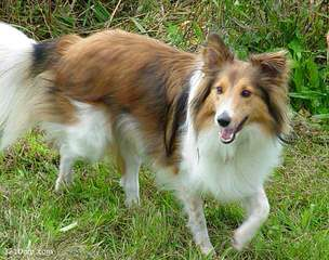 Akc Sheltie-Price Reduced! - Dog Breeders