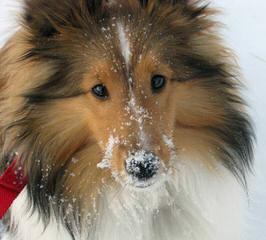 Sunridge Shelties - Dog Breeders