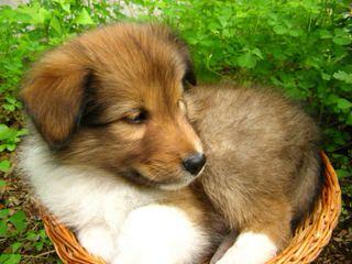 A&C Sheltie kennel - Dog Breeders