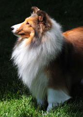 Blue Destiny Shelties - Dog Breeders