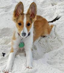 Sheltie Puppies - Dog Breeders
