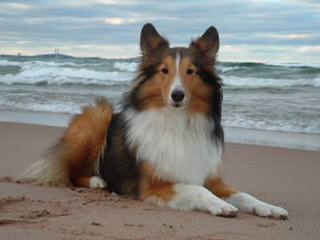 Shelties Pups For Sale - Dog Breeders