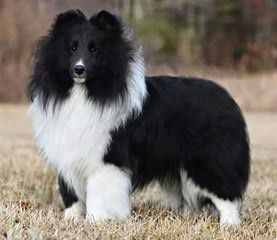 BellaRose Shelties - Dog Breeders
