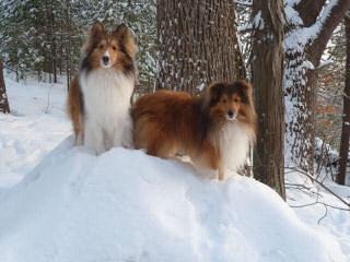 Shelties - Dog Breeders