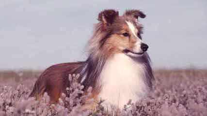 Piper's Shelties - Dog Breeders