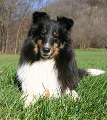 Sunridge Shelties - Dog Breeders