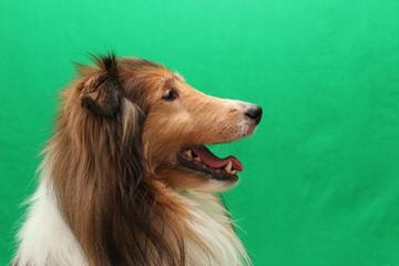 Piper's Shelties - Dog Breeders