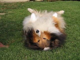 Sheltie Sweethearts - Dog Breeders