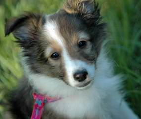 Sunridge Shelties - Dog and Puppy Pictures
